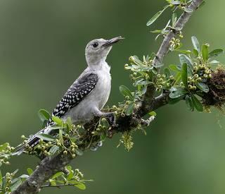 Juvenile -Red-bellied Woodpecker. Юный Дятел - Каролинский меланерпес