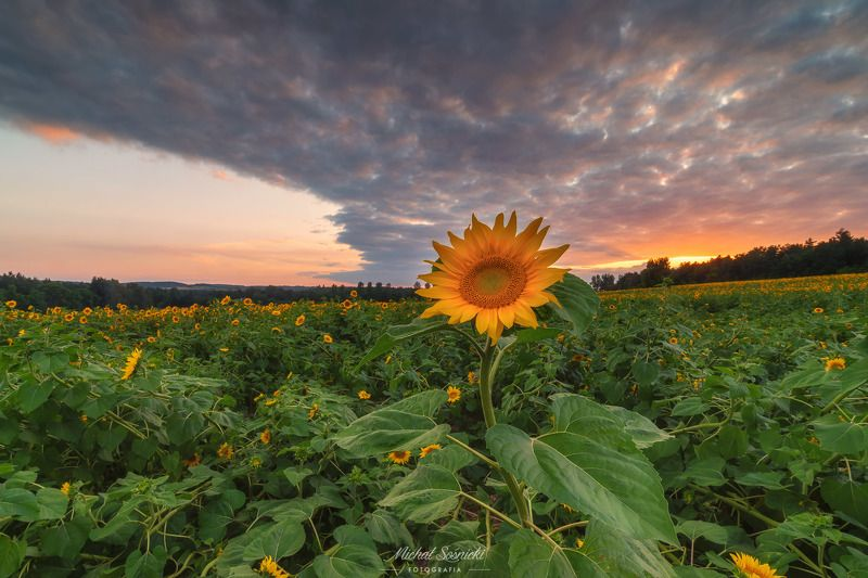 #sunflower #sunflowers #sunset #sky #flower #flowers #sky #poland #summer Sunflower.photo preview
