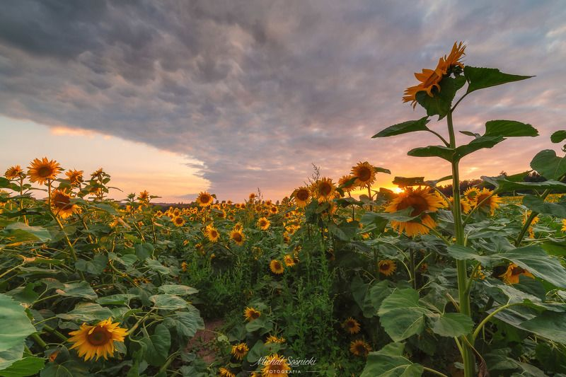 #sunflower #sunflowers #sunset #sky #flower #flowers #sky #poland #summer Sunflowers...photo preview