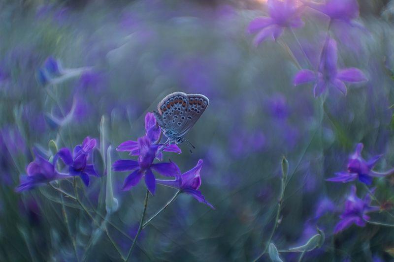 макро, бабочка, голубянка Время цветных сновphoto preview
