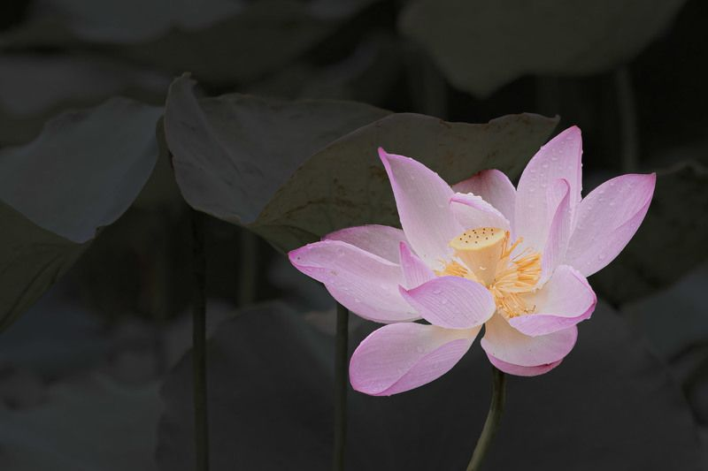 #flowers #lotus #nature Lotusphoto preview