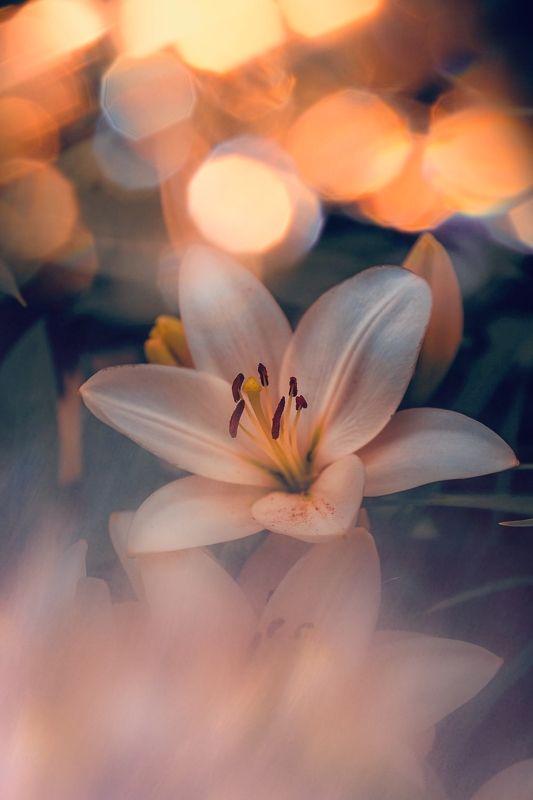 цветы, flowers, макро, macro, лилия, lily Lilyphoto preview