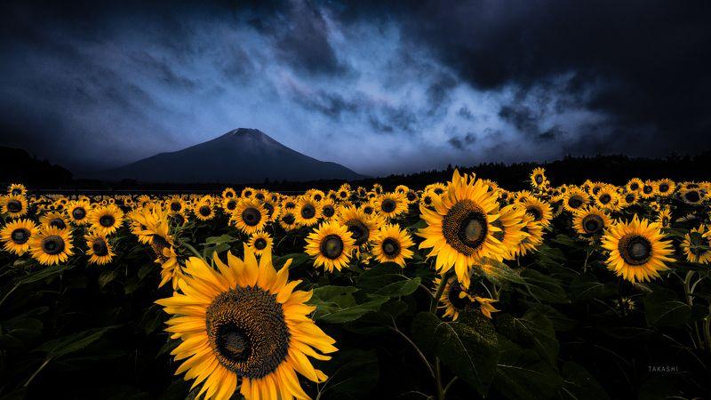 Fuji,Japan,mountain,sunflowers,cloud,light,blue,yellow Before a stormphoto preview