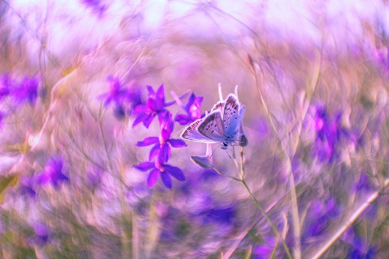 макро, бабочка, голубянка, цветы, сокирки В сиреневом пленуphoto preview
