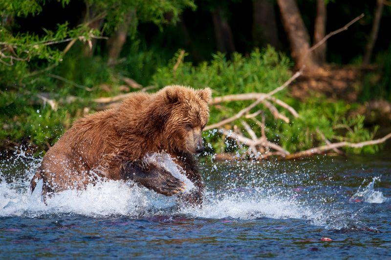 камчатка, медведь, рыбалка, улов Сейчас я ее поймаю!photo preview