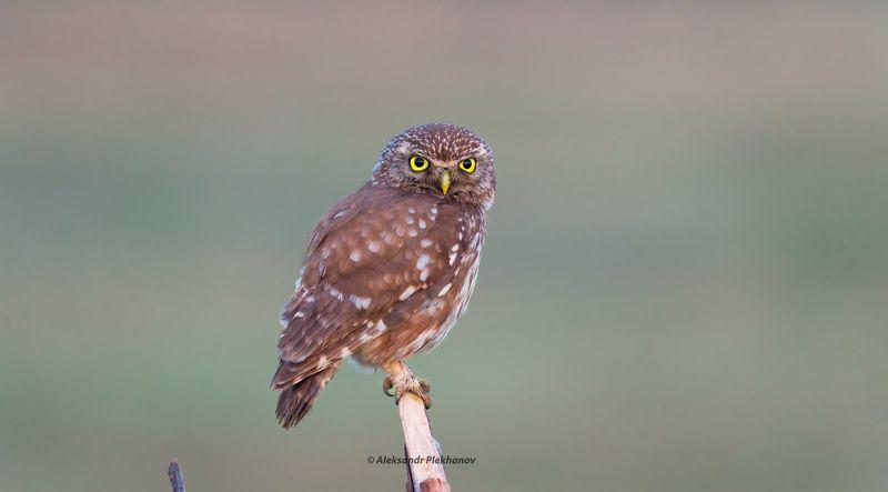 wildlife Little owlphoto preview