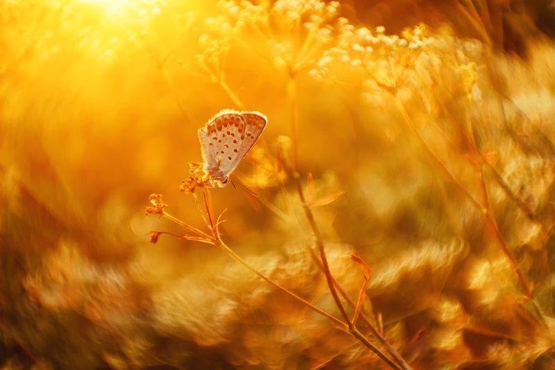 макро, бабочка, голубянка Расплавленное летоphoto preview