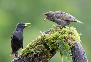 Feeding time. Обыкновенный скворец - European Starling
