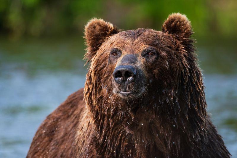 камчатка, медведь, рыбалка, улов Портретphoto preview