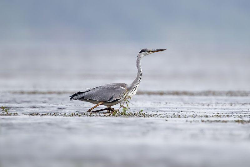 серая цапля, цапля, птица, bird, wild, gray heron Серая Цапляphoto preview
