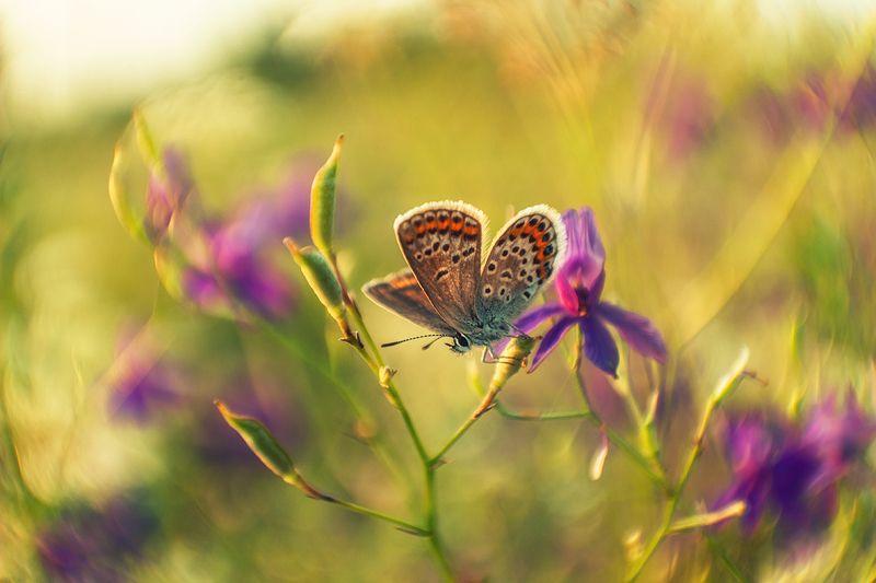 макро, бабочка, голубянка Про лето , бабочку и цветыphoto preview