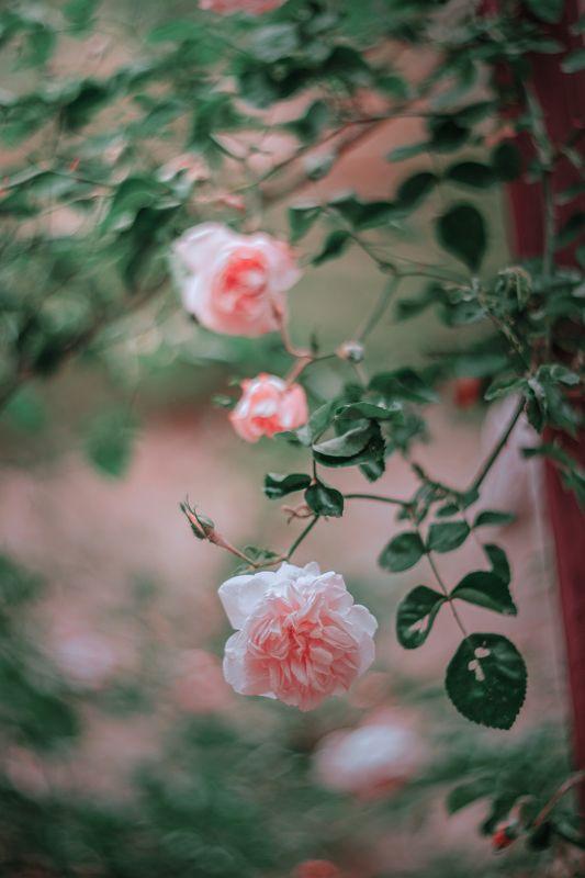 pink,green,rose,light,bokeh,nature,zenit,helios,85mm Pinkphoto preview