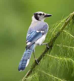 Young Blue Jay. Голубая сойка