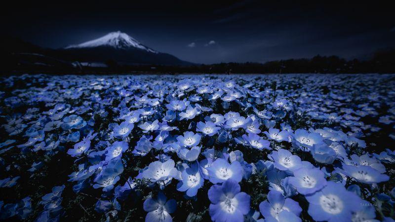 Fuji,Japan,mountain,flowers,nemophila,blue,beautiful Nemophilaphoto preview