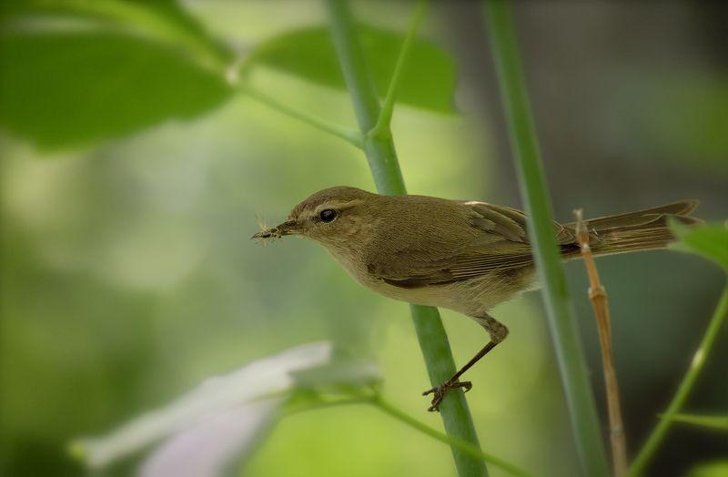 птица, пеночка, слёток, пеночка и птенец.photo preview