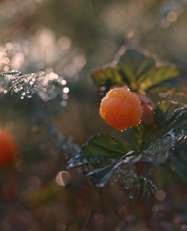 морошка, улитка, якутия, нерюнгри, женялевина Сладкая морошкаphoto preview
