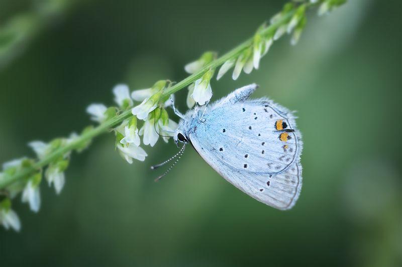 бабочка, макро, голубянка, насекомое, macro, butterfly Кусочек голубого небаphoto preview