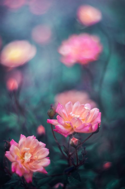 nature,nikon,flower,orange,purple,bokeh,yellow,roses,green, Pink and Yellowphoto preview