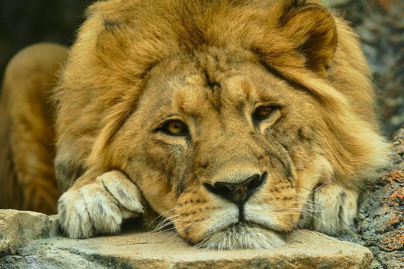 Лев Царь зверей.photo preview