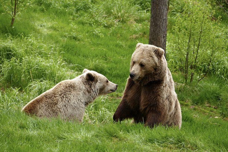 Animals, brown bear, nature, Norway, forest, fauna, медведь, Какие новости в лесу?photo preview