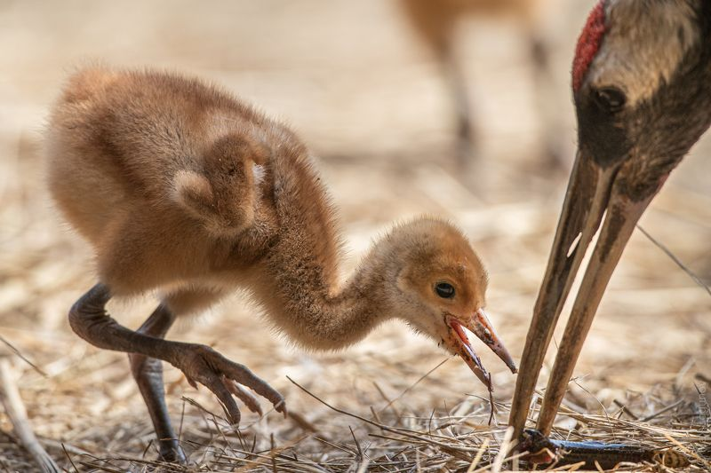 журавль, птенец, японский журавль Самка краснокнижного Японского журавля кормит новорожденного птенца рыбой.photo preview
