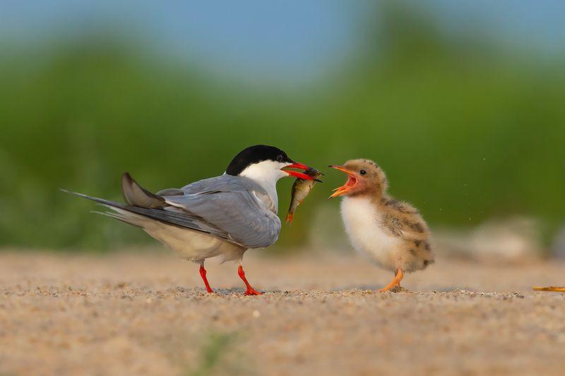 bird, wild,animals ,poland,canon Речная крачкаphoto preview