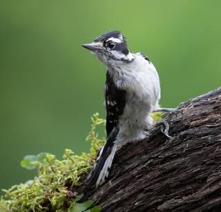 Downy woodpecker Female - Пушистый дятел. самка