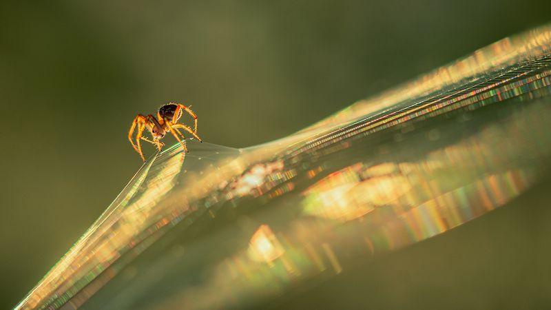 макро, животные, паук, паутина Межгалактический звездолётphoto preview
