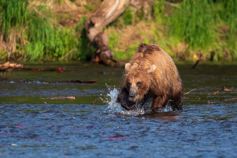 камчатка, медведь, рыбалка, улов Охотаphoto preview