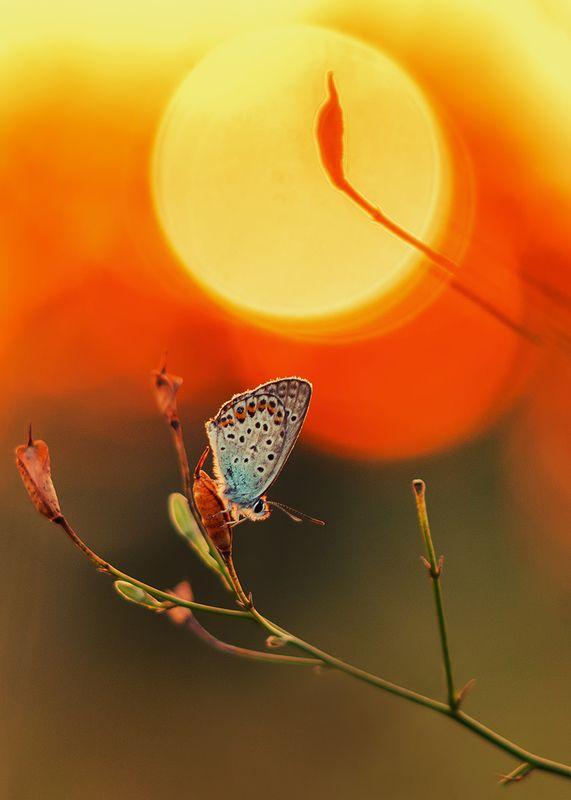 макро, бабочка, голубянка Не спугните тишинуphoto preview