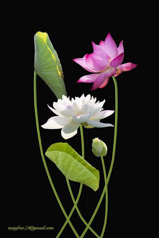 #sellingphoto.#macro.#flowers in ice #lotus Lotusphoto preview