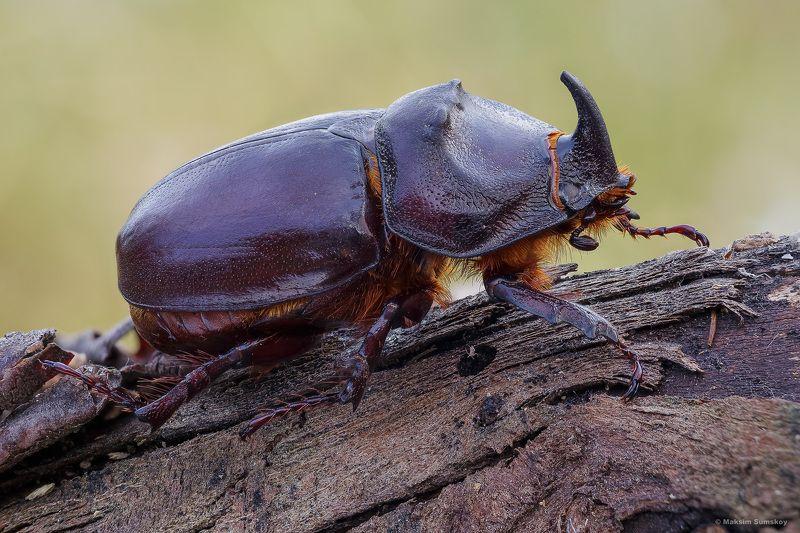 Жук-носорогphoto preview