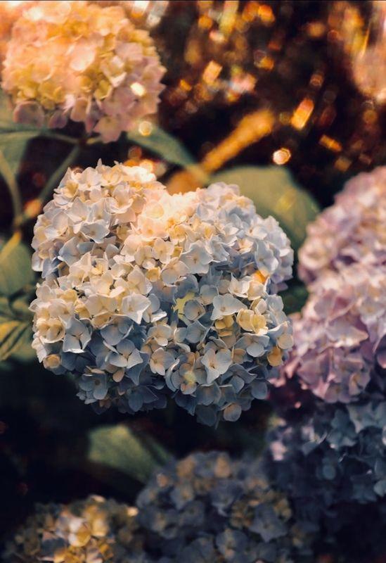 макро, цветы, flowers, macro Hydrangeaphoto preview