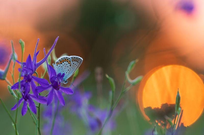 лето, макро, солнце, закат, бабочка, голубянка, цветы, настроение До свидания, Солнышко!photo preview