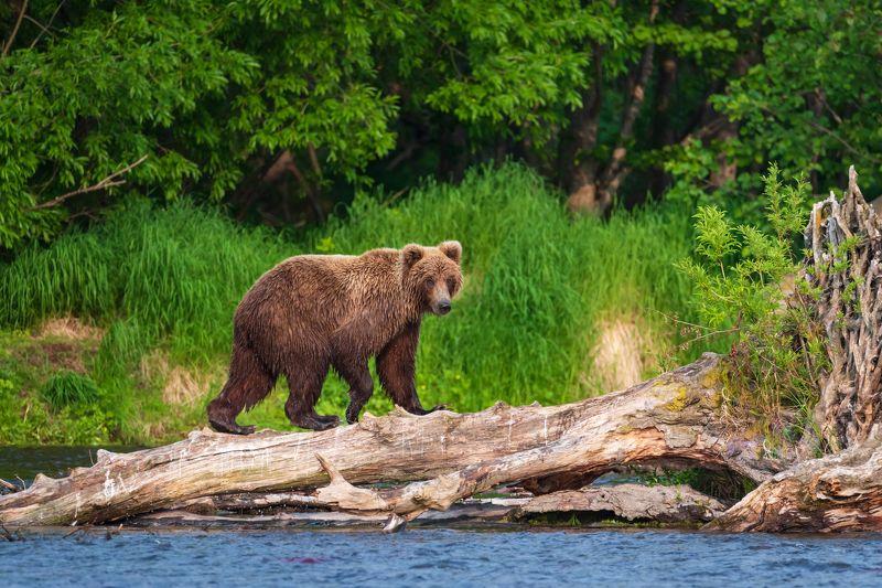 камчатка, медведь, рыбалка, улов На охотуphoto preview