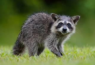 Енот-полоскун -Raccoon