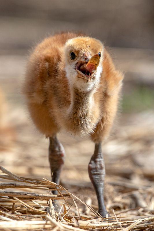 журавль Птенец Японского журавля пытается съесть рыбкуphoto preview