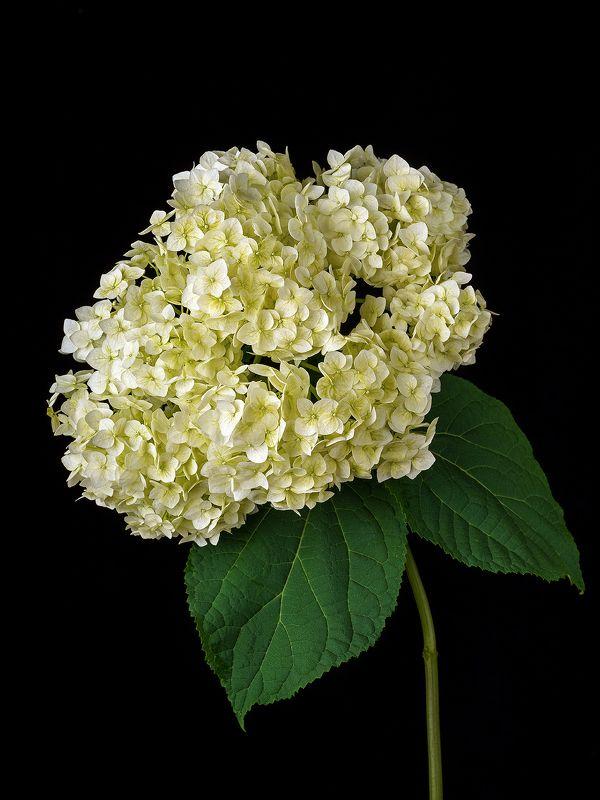 цветы, цветок, флора, природа, гортензия, лепестки, цвет, черный, белый Гортензияphoto preview