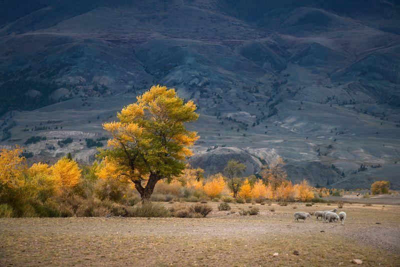пейзаж, природа, горы, осень, желтая, золотая, дерево, бараны, пасуться, алтай, сибирь,  В горах запахло осеньюphoto preview