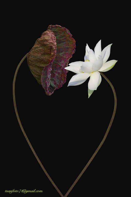 #sellingphoto.#flower #lotus Lotus Lovephoto preview