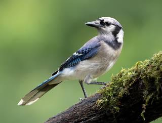 Blue Jay - Голубая сойка