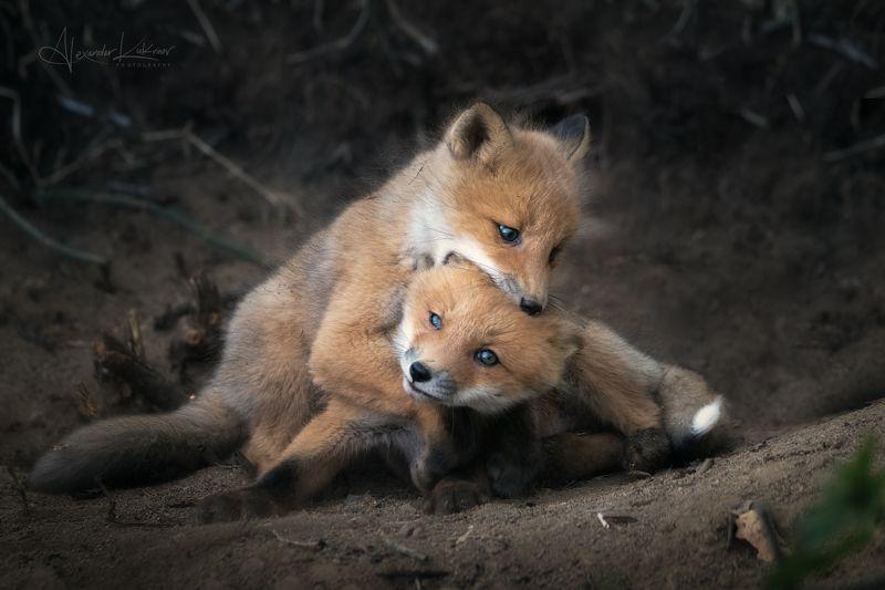 животные,лиса,лисята,лисёнок Репетируем \