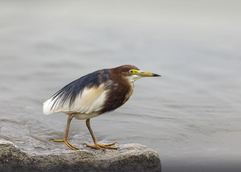 birds, animals, wildlife, chinese pond heron, птицы, белокрылая цапля, Очаровашкаphoto preview