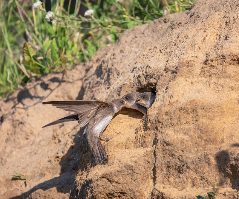 птица, ласточка береговушка, птенцы, Береговушка и птенцы.photo preview