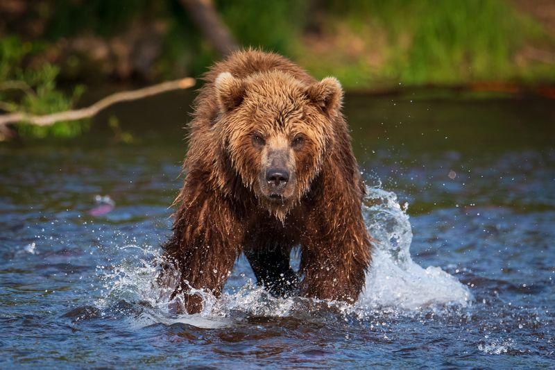 камчатка, медведь, рыбалка, улов Вижу добычуphoto preview