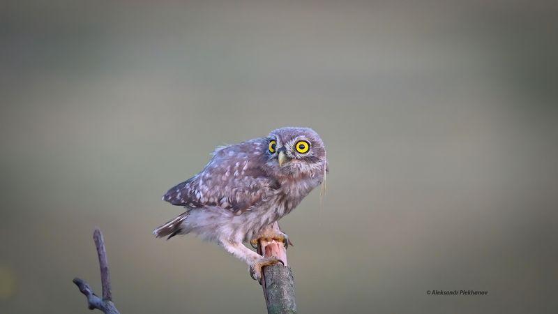 wildlife Домовой сычик , слётокphoto preview