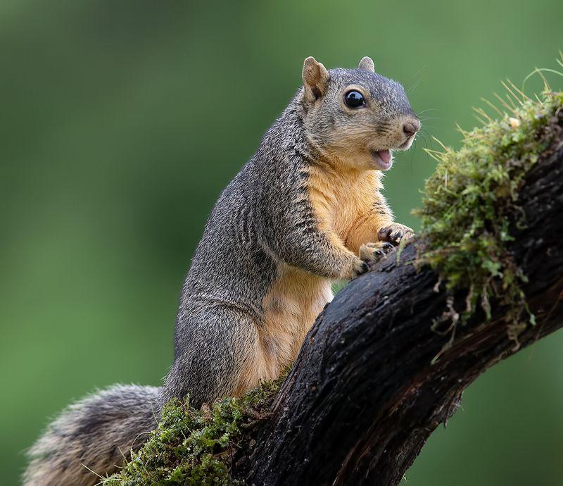 белка, squirrel, лисья белка, fox squirrel, животные, animals,  дикие животные Fox Squirrel - Лисья Белкаphoto preview