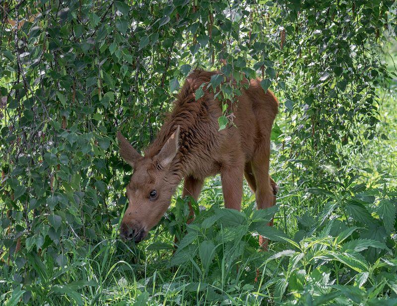 лосёнок, лес, лосёнок..photo preview