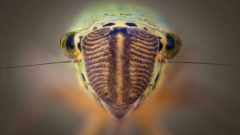 Cicadella viridisphoto preview