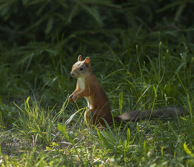 белочка, зверёк,лес, природа, squirrel, animal, forest, summer, nature Любопытная белочкаphoto preview